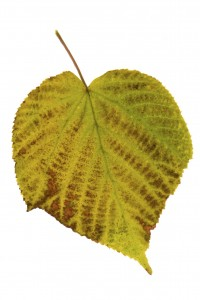 Linden leaf on a white background